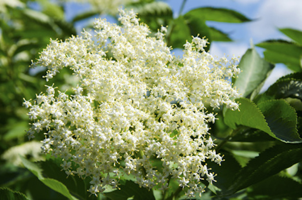 The elderflower