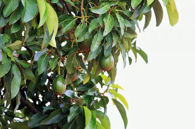 albero avocado