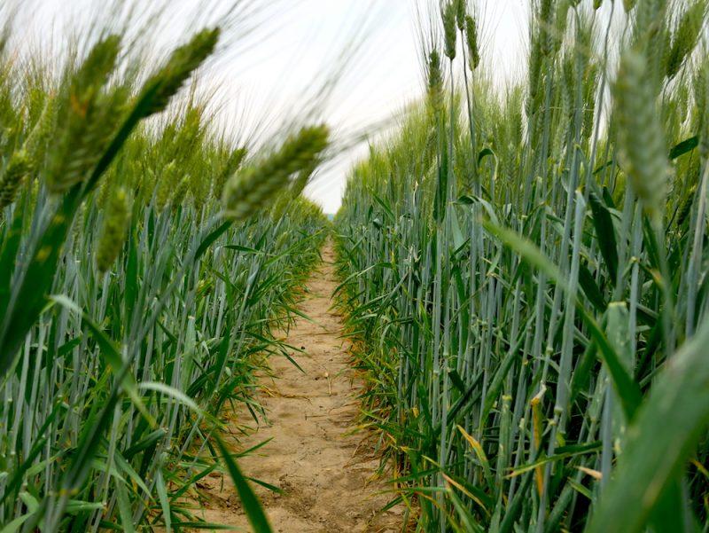 syngenta grano